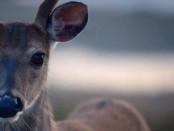 Anticosti Deer