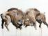Bison. Myriam Rousseau.