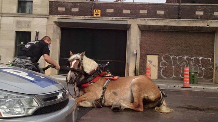 Caleche horse fallen in grate