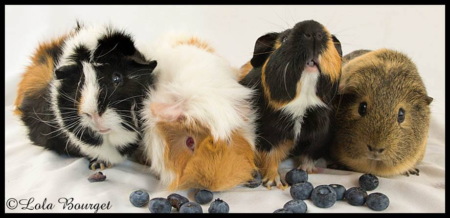 jiggly piggly guinea pigs. photo from their facebbok page.