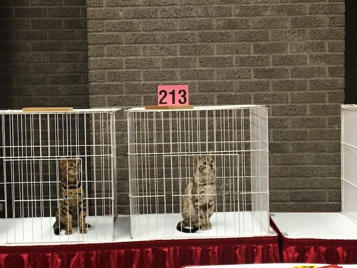 Cats waiting to get judged. Salon National de Animal Compagnie de Montreal. SNAC. Photo Rachel Levine